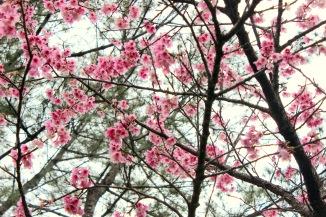 Mt. Yaedake cherry blossoms