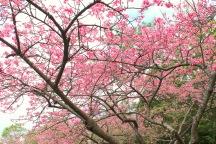 Cherry trees on Mt. Yaedake