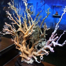 Beautiful coral gemstone was on display in the skyscraper. It takes 10 years to grow 1 cm. It is very rare and special..