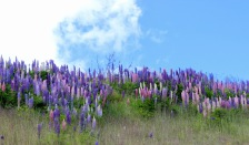 Love the pink and purple lavender scattered around NZ