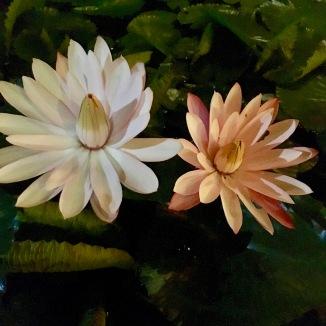 Beautiful lotus flowers everywhere in Siem Reap